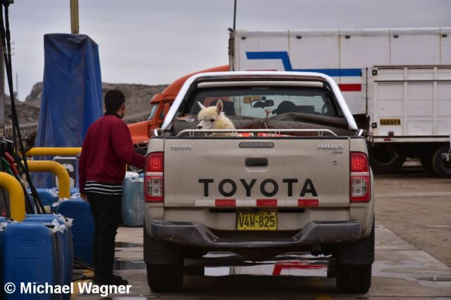 Alpaka auf Pickup