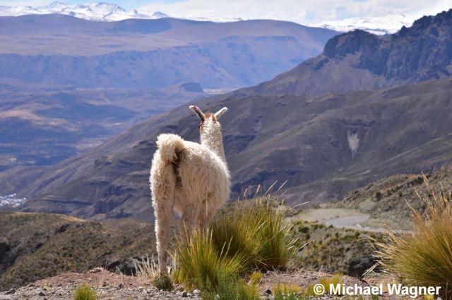 Alpaka schaut