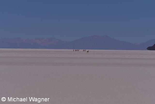 Kamele auf dem Salar